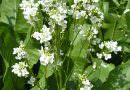 Fleur raifort