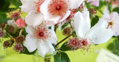 Les roses, en Alsace et ailleurs